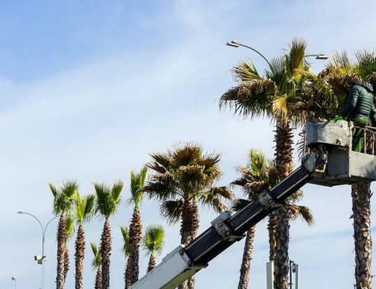 Palm Tree Trimming-Delray Beach Tree Trimming and Tree Removal Services-We Offer Tree Trimming Services, Tree Removal, Tree Pruning, Tree Cutting, Residential and Commercial Tree Trimming Services, Storm Damage, Emergency Tree Removal, Land Clearing, Tree Companies, Tree Care Service, Stump Grinding, and we're the Best Tree Trimming Company Near You Guaranteed!